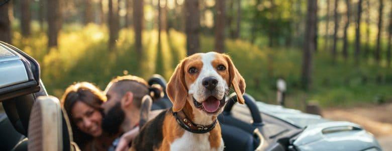 pies w kabriolecie